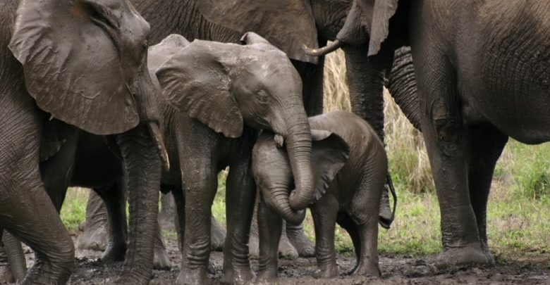 The IWT Must Focus On The Declining Number Of Elephants In Asia