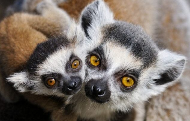 Lemur Species Under Threat Of Extinction