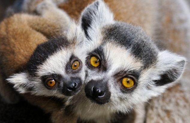 Lemur Species Under Threat Of Extinction